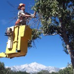 MANZ-Arborist-pruning-historic-pear-tree