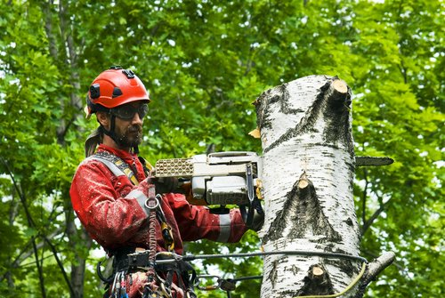 arborist-cutting-tree-birch